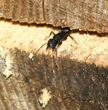 carpenter-ant-ontario