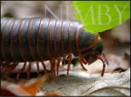 millipede-small