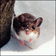 mouse-snowthumb