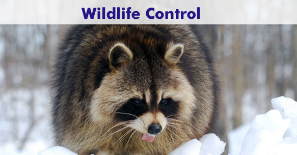 Wildlife Control Toronto and GTA