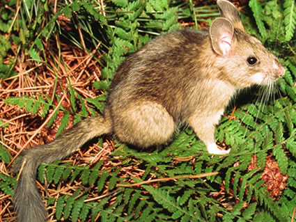 Bushytailed Woodrat